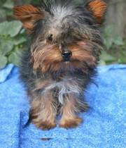 Adorable tiny t-cup yorkshire terrier puppies