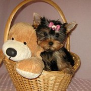 Yorkshire terrier puppy for free re-homing